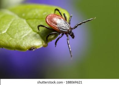 The castor bean tick, (Ixodes ricinus)