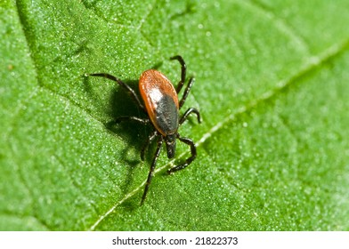 Castor bean tick on the leaf. Ixodes ricinus.