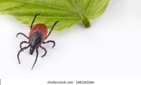 Castor bean tick when jumping from green leaf. Ixodes ricinus. Dangerous parasite on white background with copy space. Transmitter of diseases as encephalitis and borreliosis.