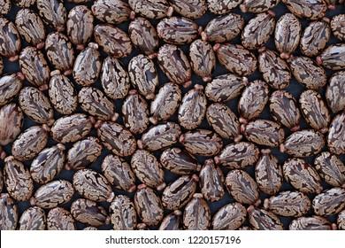 Castor Beans (Ricinus communis) - Natural Concept
