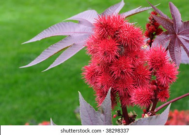 Castor been plant, Ricinus communis, herbaceous shrub, poisonous, toxic seed, spiny seedpod, ornamental, garden, annual, ricin, burgundy leaf, red, green grass background, horizontal