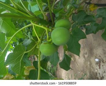 castor fruit for medicine all drugs