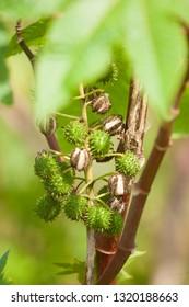 Castor Oil Plant, Ricinus Communis.