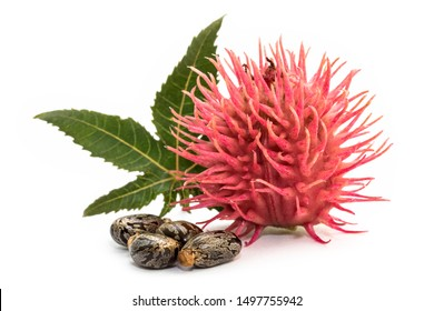 Castor oil plant and seeds on white background