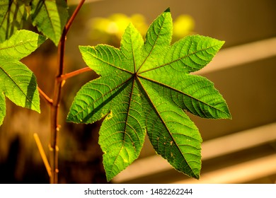 castor-oil plant with leaf in sun
