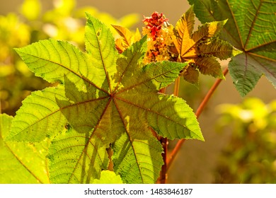 castor-oil plant with leaves and flower