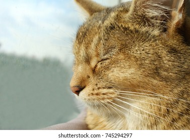 a cat, Abyssinian