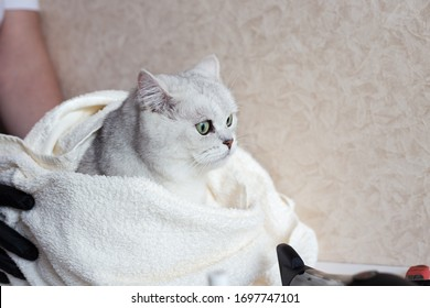 The cat after washing wrapped in a towel. Spa for pets. Beautiful british cat. Grooming animals.