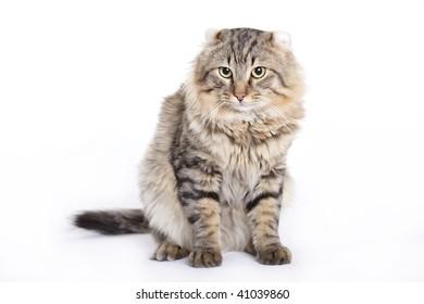 Cat, American curl