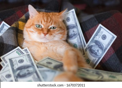 Cat with american dollars in paws lying on the sofa. The concept of success and wealth.