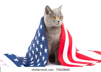 Cat with American flag. A real patriot of America on a white background. British, Scottish breed of cats on isolation. Cat on the background of the flag of the USA