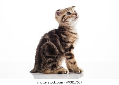 Cat american hair on white background