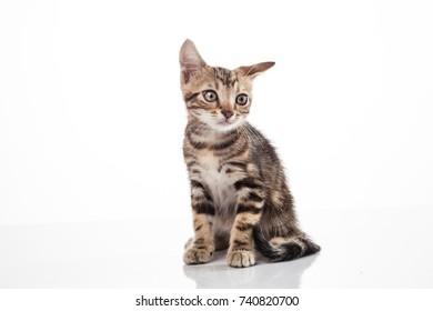 Cat American short hair on white background