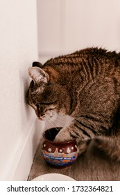 Cat asks for food. Cat dry food. Kitten eats, licking paw. Drinks milk. Cat nutrition diet food. Special cats food. Pet care. Pet health. Domestic pet cat. Brown grey fur. Stripes on fur