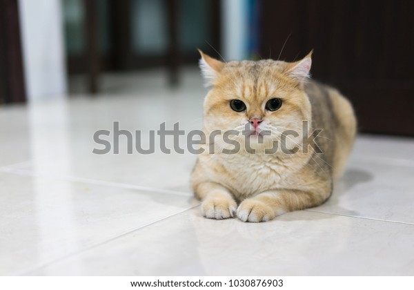 Cat Background Golden British Shorthair Cat Stock Photo (Edit Now