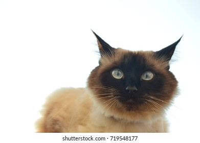 cat balinese on white background looks surprised