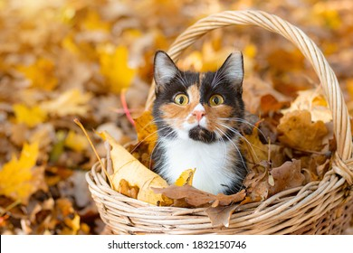 Cat in the basket. Cat sitting in a basket and autumn leaves . A young colored cat. Autumn leave. Cat in the basket. Walking a pet. Article about cats and autumn. Yellow fallen leaves. Photos for