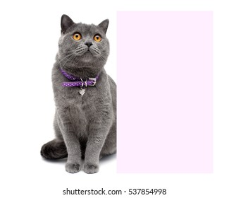 Cat in a beautiful collar sits near a banner on a white background. horizontal photo.