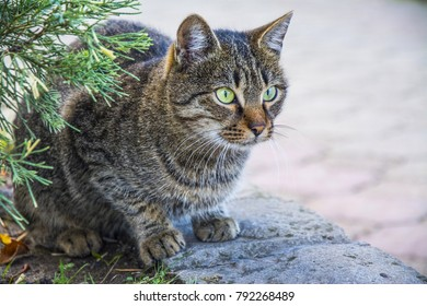 Cat. Beautiful, purebred cat in the open air