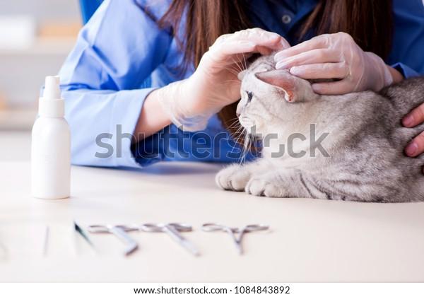 Cat being examining in vet clinic
