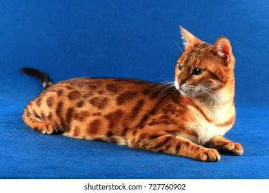 A cat of Bengal breed lies on a blue background and looks back