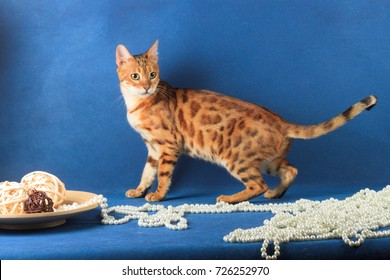 Cat of Bengal breed near pearls and plates with wooden balls