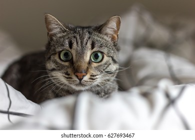 Cat with big eyes stalking in bed