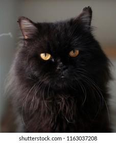 cat blackcat Persian Cats