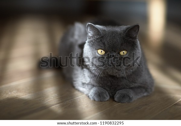 Cat Blue Exotic Persian Breed Lies Stock Photo (Edit Now