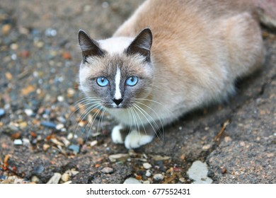 Cat with blue eyes walks in the fresh air