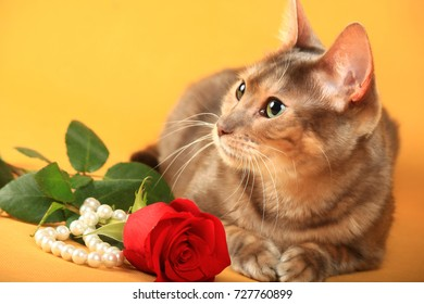 Cat of the blue Toyger breed lies next to the rose and pearls on yellow background