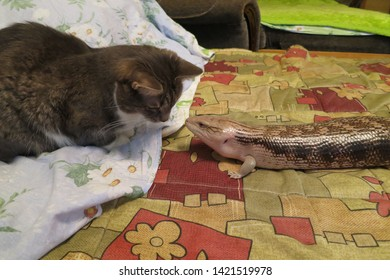 Cat with a blue-tongued skink (Tiliqua scincoides intermedia)