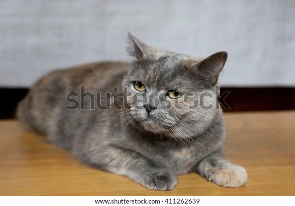 Cat Breed British Shorthair Gray Brown Stock Photo Edit Now 411262639
