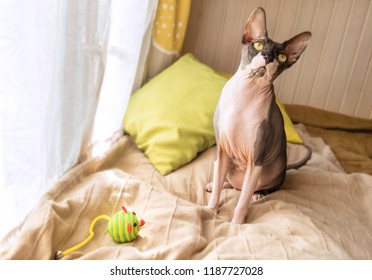 Cat of breed the canadian Sphynx near the window with toy mouse. Hairless tomcat portrait close up.