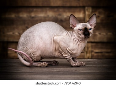 cat breed of Canadian Sphynx on a wooden background