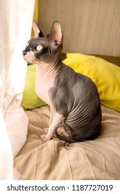Cat of breed the canadian Sphynx sitting and looking out the window. Hairless tomcat portrait close up.