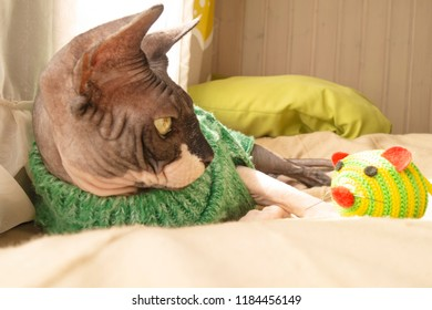Cat of breed the canadian Sphynx in sweater near the window with toy mouse. Hairless tomcat portrait close up.