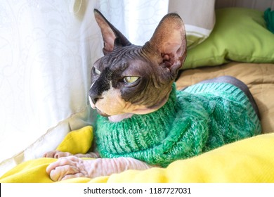 Cat of breed the canadian Sphynx in sweater near the window. Hairless tomcat portrait close up.