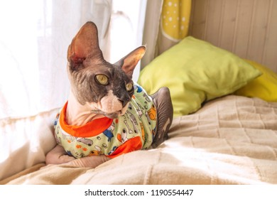 Cat of breed the canadian Sphynx in t-shirt near the window. Hairless tomcat portrait close up.