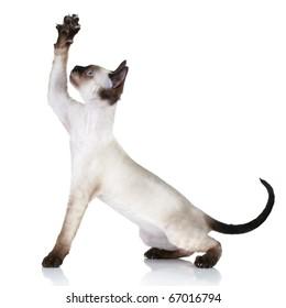Cat of breed Devon-Rex pulls paw upwards