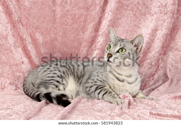 The cat of breed of Egyptian Mau of gray color in a strip with green eyes lies on a pink cover.