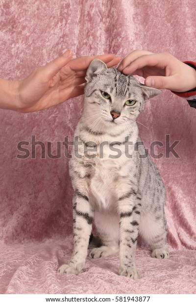 The cat of breed of Egyptian Mau of gray color in a strip with green eyes sits on a pink cover her iron hands of the person.