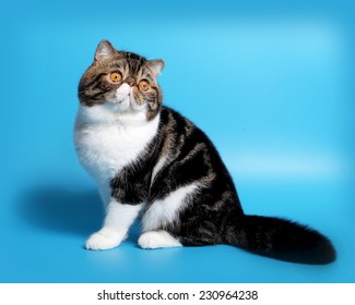 cat breed exotic short hair, bicolor � on blue background with shadow