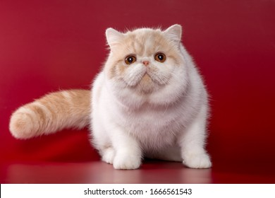 Cat breed exotic shorthair cream bicolor with orange eyes on red and green backgrounds in playful poses
