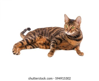 Cat breed Toyger isolated on white background.