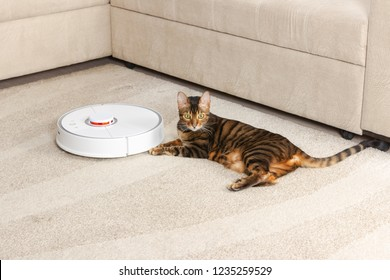 Cat breed Toyger is lying on the carpet near the robotic vacuum cleaner