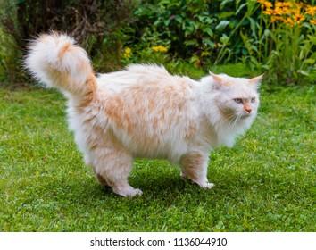 Cat breed Turkish Van (Vankedisi) or Turkish Angora walks in the garden on the green grass