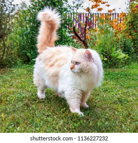 Cat breed Turkish Van (Vankedisi) or Turkish Angora is sitting on the grass in the garden