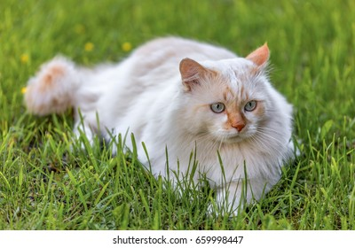 A Cat breed Turkish Van (Vankedisi) or Turkish Angora lying in the garden on green grass in the garden