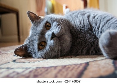 Cat of the British breed relaxes, falls asleep, lies, close-up